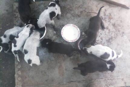 9 Cattle dog Puppies. Adelaide Park Yeppoon Area Preview