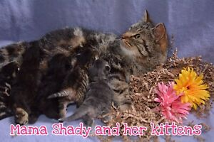 Shady's Spring Kittens are for Sale!!!