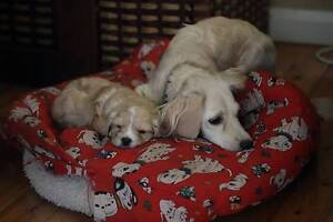 Cavoodle (Spoodlier) Puppies  for Sale Frenchs Forest Warringah Area Preview