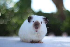 Female Adult Himalayan Guinea Pig Woodcroft Morphett Vale Area Preview