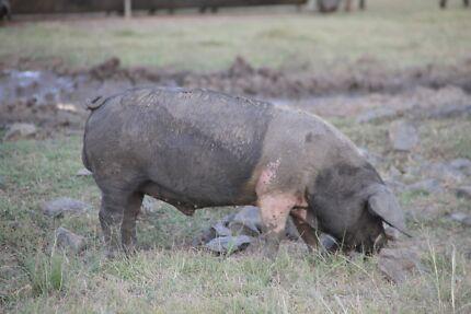 Wessex Saddleback Boars