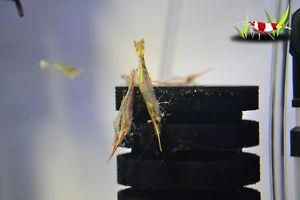 5 x Pinocchio shrimp group Algae Clean Up Tropical Aquarium live