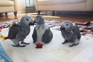 Hand fed African Grey babies for sale