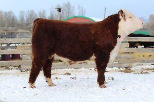 Purebred Yearling Hereford Bulls Available for Later Calving
