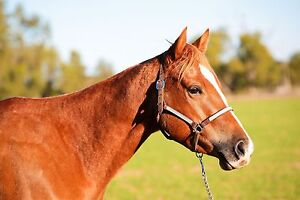Quiet Registered Paint Mare Roma Roma Area Preview