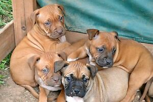 French Mastiff X American Staffy Puppies Muswellbrook Muswellbrook Area Preview