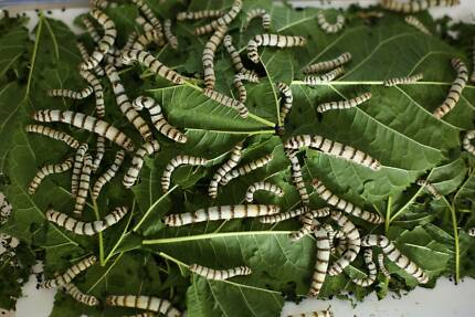 Silkworms free Thornlie Gosnells Area Preview