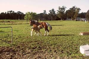 Tobiano brood mare  with foal at foot growing beautifully . Toronto Lake Macquarie Area Preview