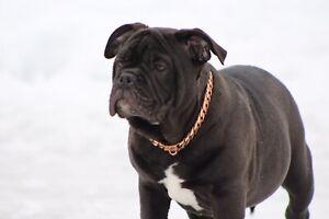 Bulldog anglais/Américain bulldog  1750$
