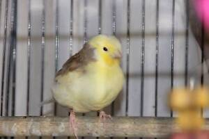 Gloster Canaries Canary and a breeding pair of Canaries Coramba Coffs Harbour Area Preview