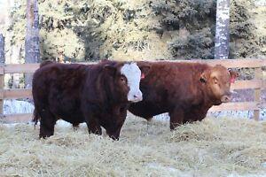 Yearling Purebred Simmental bulls