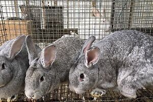 New Zealand Chinchilla Crossed Meat Rabbits Junior Does