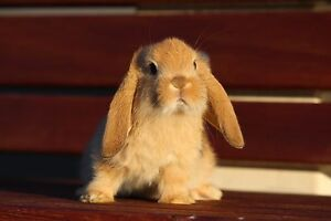 Mini Lop Rabbits limited release available from Sydney Mini Lops Parramatta Parramatta Area Preview