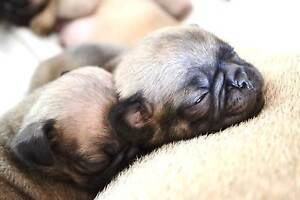 Purebred Pug Puppies Little Mountain Caloundra Area Preview