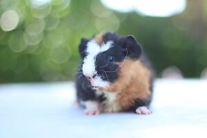 GORGEOUS Male Baby Guinea Pig Woodcroft Morphett Vale Area Preview