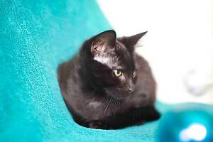RESCUE KITTEN - Milo - Cat Rescue Port Stephens Salamander Bay Port Stephens Area Preview
