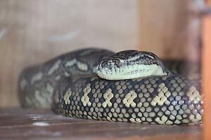 Female Morelia Spilota Vereigata ( Coastal Carpet Python ) Deception Bay Caboolture Area Preview