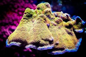 Frags Coral Saltwater