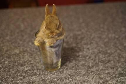 Netherland Dwarf Rabbits @ $ 70