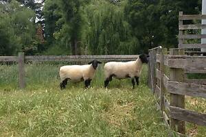 Suffolk Ram Welshpool Canning Area Preview