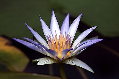 SACRED BLUE LOTUS * Nymphaea Caerulea * WATER LILY * AQUATIC PLANT SEEDS NEW!!