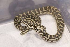 South West Carpet python Yearling Huntingdale Gosnells Area Preview