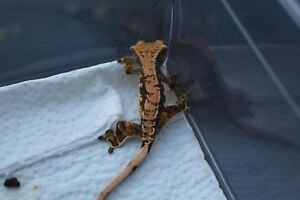 Unsexed baby crested gecko