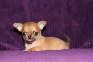 Male chihuahua 4 lbs adulte enregistré au club canin ckc
