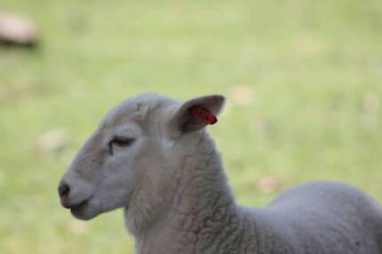 Ram lambs, ewe lambs and wethers