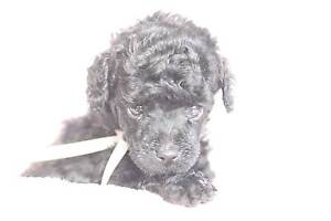 TOY POODLE PUPPIES PEDIGREE Hoppers Crossing Wyndham Area Preview