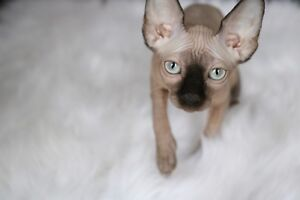 Sphynx kitten... SOLD... keep watching for future litters!