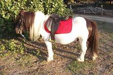 shetland pony Exeter West Tamar Preview