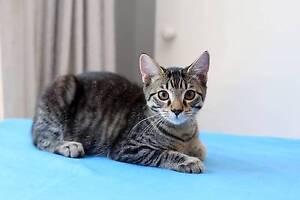 RESCUE KITTEN - Jake - Cat Rescue Port Stephens Salamander Bay Port Stephens Area Preview