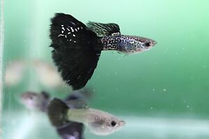 Black metal lace guppies Tapping Wanneroo Area Preview