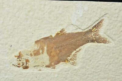 Hiodon falcatus Green River Wyoming Rare Fossil Fish