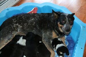 Blue Cattle Dog x Kelpie Puppies Bundall Gold Coast City Preview