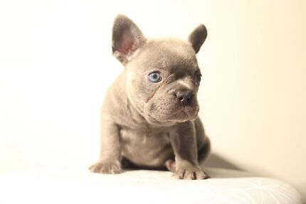 french bulldog in Frenchs Forest 2086, NSW   Gumtree