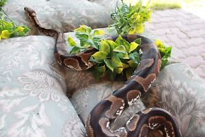 *need gone*Calico Ball Python for Sale