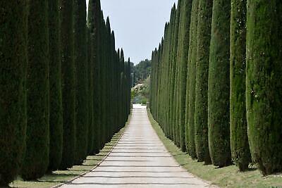Mittelmeer-Zypresse Cupressus sempervirens Säulen-Zypresse  Echte Zypresse