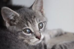 Adorable grey kittens for sale