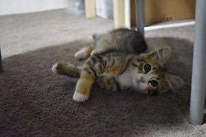 cute kitten for sale! West Ryde Ryde Area Preview