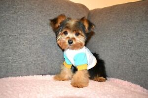 Maltese | Adopt Dogs & Puppies Locally in Ontario | Kijiji Classifieds