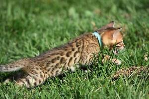 Pedigree Bengal Kittens (Browns and Snows available) Armidale Armidale City Preview