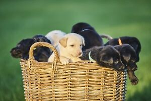 11 Black and Yellow Lab Pups ( 7 Still Available )