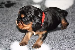 Cavalier King Charles Spaniel Puppies Smithlea Goondiwindi Area Preview