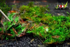 10 x Red Cherry  shrimp group Algae Clean Up Tropical Aquarium live