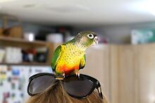 Hand Raised Green Cheek Conures! Mount Ommaney Brisbane South West Preview