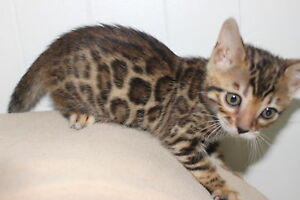 Purebred Bengal Kittens--TICA registered with pedigrees