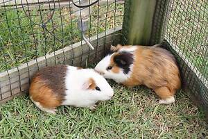 Guinea pigs and hutch cage Coramba Coffs Harbour Area Preview