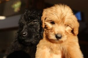 Labradoodle Puppies - One Puppy Left